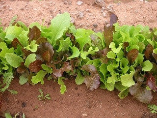 Baby Leaf Lettuce Mix - Lactuca Sativa - Vegetable - 50 Seeds