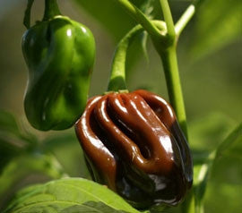 Chocolate Habanero - Congo Black Pepper - Capsicum Chinense - 10 Seeds