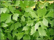 Lovage - Levisticum Officinale -  - 20 Seeds