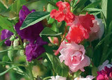 Balsam Tom Thumb Mix - Impatiens Balsamina -  - 20 Seeds