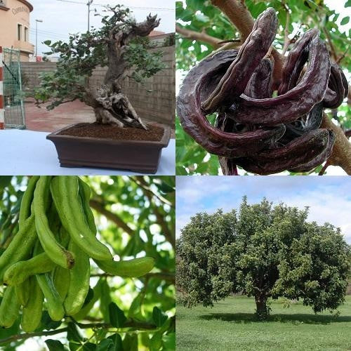 Carob Chocolate Tree - Ceratonia Siliqua - Exotic Evergreen Bonsai Tree - 10 Seeds