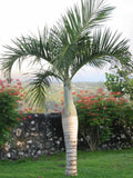 Spindle / Bottle Palm - Hyophorbe verschaffeltii - Exotic Palm Tree - 10 Seeds