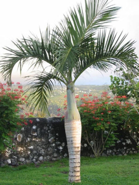 Spindle Bottle Palm Hyophorbe Verschaffeltii Exotic