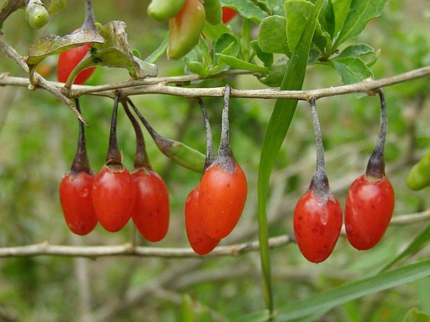 Goji Berry / Wolf berry - Lycium Chinense - Exotic Edible Fruit - 20 Seeds