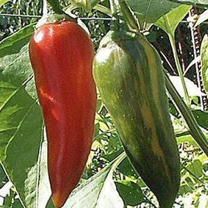 Variegated Fish Pepper - Capsicum Annum - Chilli Pepper - 5 Seeds