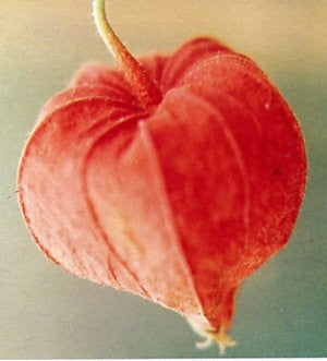 Chinese Lantern - Strawberry Ground Cherry - Physalis Alkekengi v Franchetii - Exotic Edible Fruit - 10 Seeds
