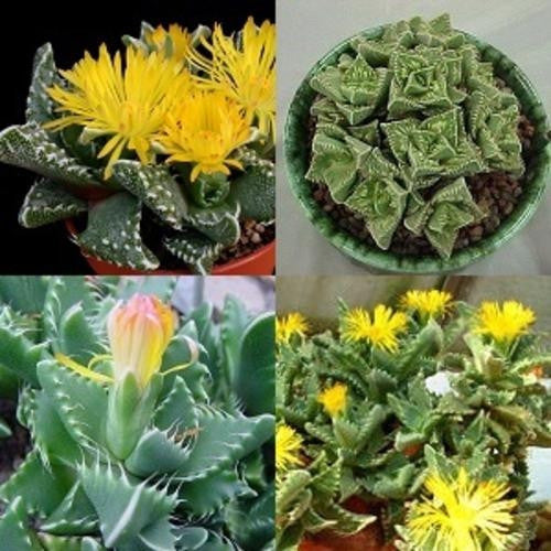 Tigers Jaw Succulent Mixed - Faucaria Mixed Species - Indigenous South African Succulent - 10 Seeds