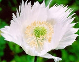 Persian White Poppy - Papaver Paeoniflorum - Annual Flower - 20 Seeds