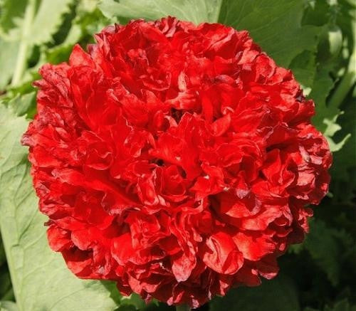 Scarlet Peony Poppy - Papaver Paeoniflorum - Annual Flower - 20 Seeds