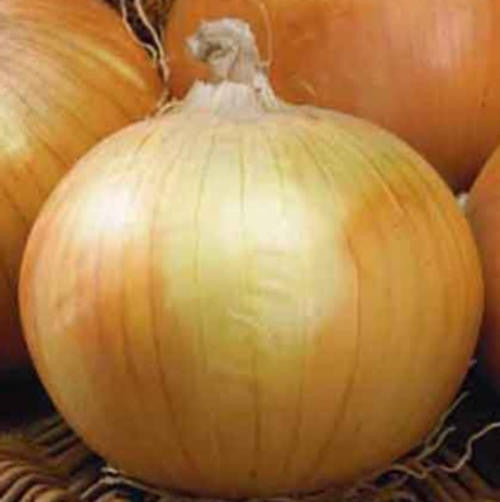 Texas Grano Onion - Allium Cepa - Vegetable - 50 Seeds