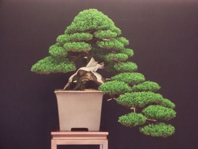 Italian Cypress - Pencil Pine - Cupressus sempervirens - Exotic Bonsai Tree - 5 Seeds