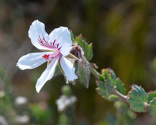 Pelargonium Betulinum White - Indigenous South African Shrub - 5 Seeds