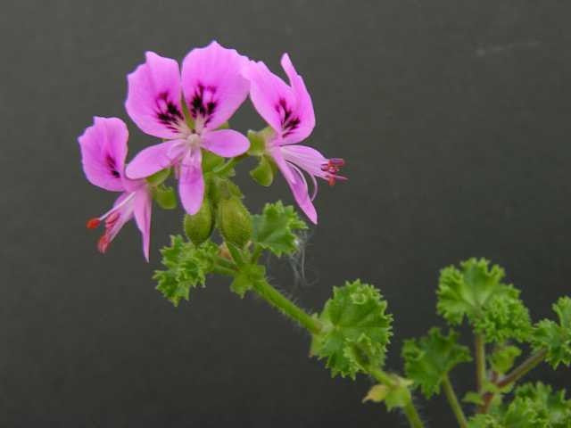 Pelargonium Englerianum - Indigenous South African Shrub - 5 Seeds