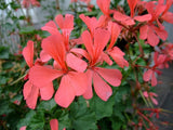 Pelargonium Salmoneum - Indigenous South African Shrub - 5 Seeds