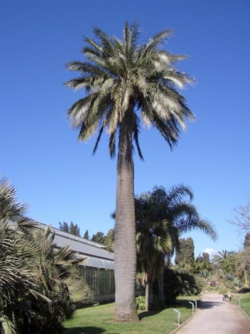 Jubaea Chilensis - Exotic Palm - 5 Seeds