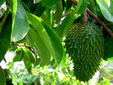 Annona Muricata - Exotic Edible Fruit - 5 Seeds