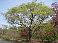 Acer Truncatum Mono / Acer Pictum - Exotic Bonsai Maple Tree - 5 Seeds