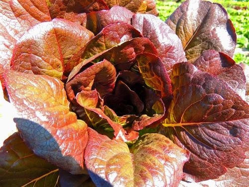 Cimmeron Romaine Lettuce - Lactuca Sativa - Red Cos Lettuce - 200 Seeds
