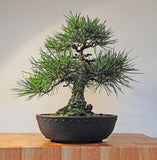 Japanese Black Pine - Pinus Thunbergii - Exotic Japanese Bonsai Tree - Seeds
