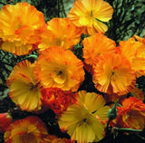 Mission Bells California Poppy - Eschscholzia Californica - Annual Flower - 200 Seeds