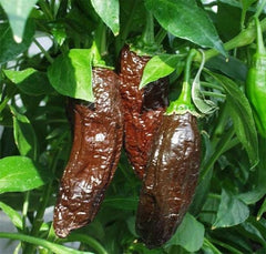 Aji Panca Pepper - Capsicum Chinense - Peruvian Chilli Pepper - 5 Seeds