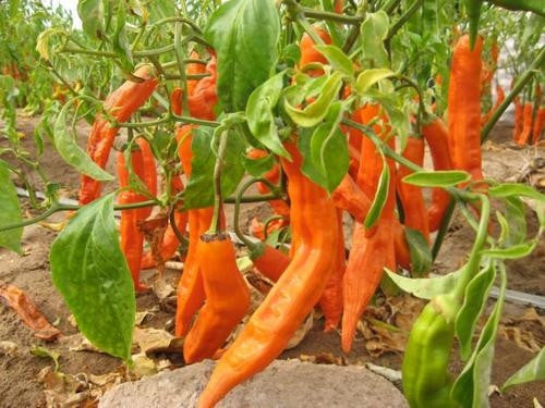 Aji Amarillo Pepper - Capsicum Baccatum - Peruvian Chilli Pepper - 5 Seeds