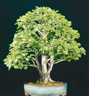 Japanese Alder - Alnus Japonica - Exotic Japanese Bonsai Tree - 5 Seeds