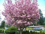 Pink Flowering Cherry - Prunus species - Ornamental Flowering Tree - 5 Seeds