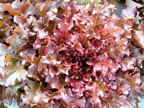 Salad Bowl Red Lettuce - Lactuca Sativa - Vegetable - 200 Seeds - ORGANIC