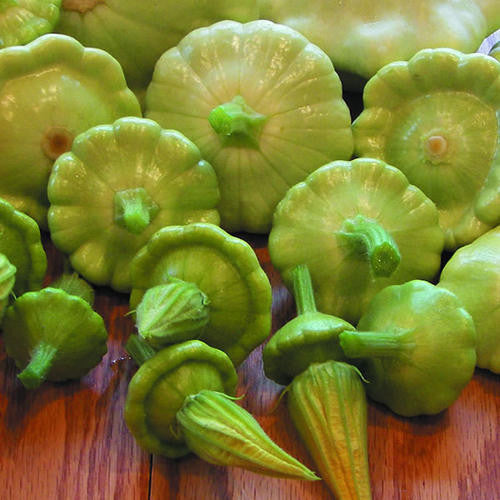 Bennings Green Tinted Patty Pan Squash - Cucurbita Pepo - Heirloom Vegetable - 5 Seeds