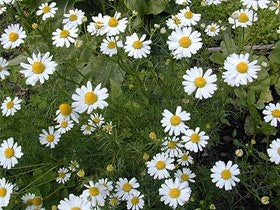 Roman Chamomile - Chamaemelum nobile - Culinary / Medicinal Herb - 250 Seeds