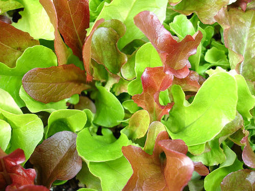 Lettuce Mesclun Mix - Mixed Salad Greens - Vegetable - 50 Seeds - ORGANIC
