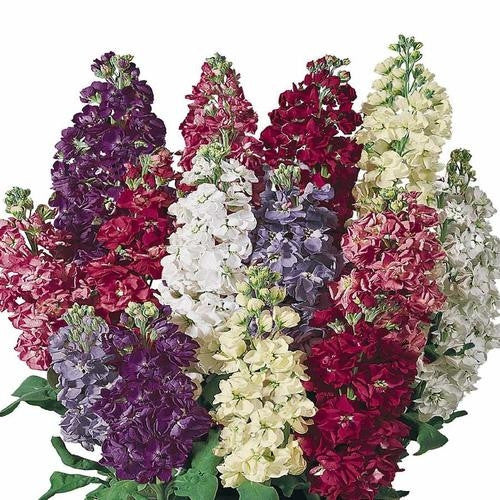 Stocks Giant Imperial Mix - Matthiola Incana - Fragrant Annual Flower - 200 Seeds