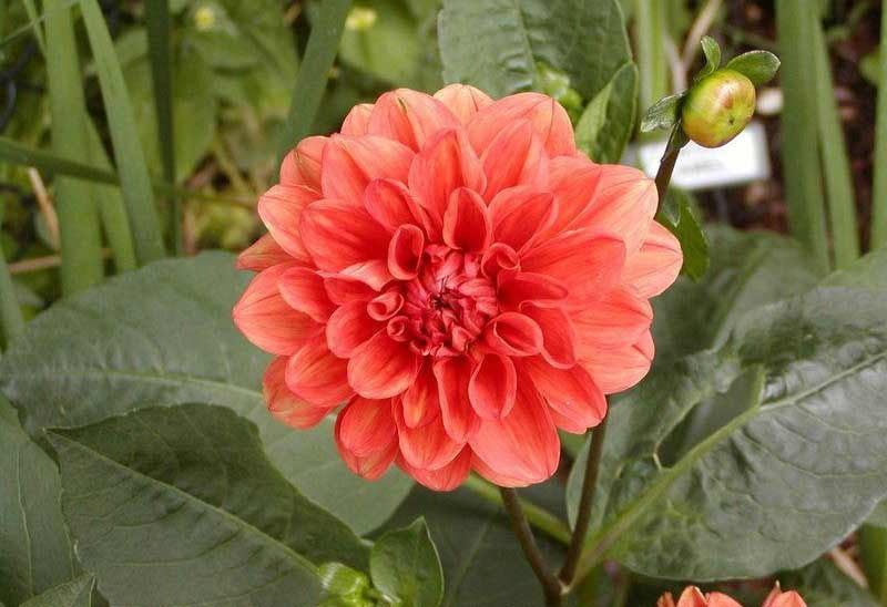 Dahlia Flower Bulbs - Border - Autumn Fairy - 2 Bulbs (Not Seeds)