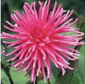 Dahlia Flower Bulbs - Cactus - Caroussel - 1 Bulb (Not Seeds)