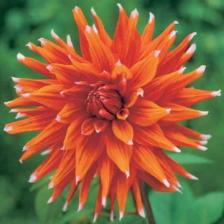 Dahlia Flower Bulbs - Cactus - Colour Spectacle - 1 Bulb (Not Seeds)