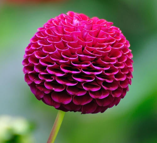 Dahlia Flower Bulbs - Pompon - Lolly Pop - 2 Bulbs (Not Seeds)