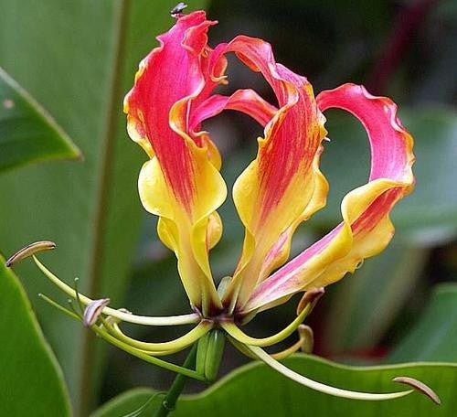 Gloriosa - Flame lily - Flower Bulbs (Not Seeds) 3 Bulbs