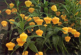 Sandersonia - Aurantiaca - Flower Bulbs (Not Seeds) - 5 Bulbs