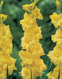 Gladiolus -  Gladioli - Morning Gold - Flower Bulbs (Not Seeds)