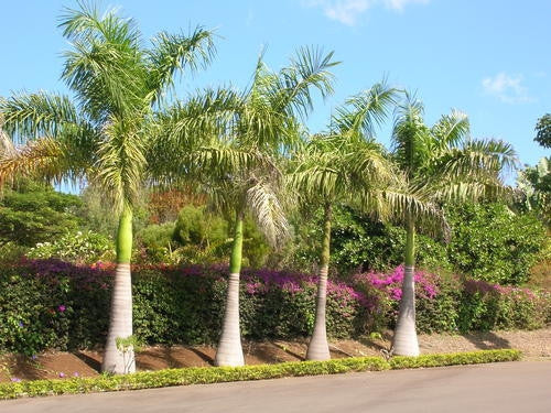 Cuban Royal Palm - Roystonea Regia - Exotic Palm - 5 Seeds