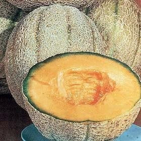 Hales Cantaloupe / Melon - Cucumis Melo - Vegetable / Fruit - 20 Seeds