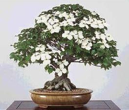 Chinese Dogwood - Cornus Kousa Chinensis - Exotic Bonsai Tree - 5 Seeds