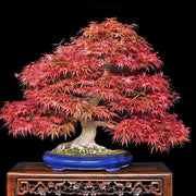 "Japanese ""Atropurpureum"" Maple - Acer Palmatum Atropurpureum - Exotic Bonsai Tree - 5 Seeds"