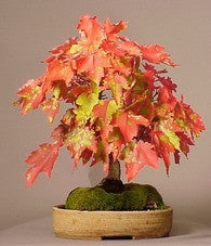 Red Swamp Maple - Acer rubrum - Exotic Bonsai Tree - 5 Seeds