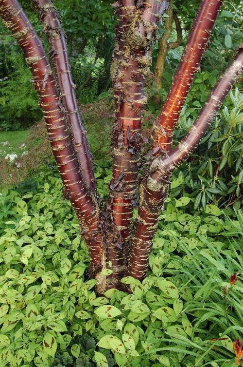 Shining Birch Bark Cherry Tree - Prunus Serrula Tibetica - Exotic Tree - 5 Seeds