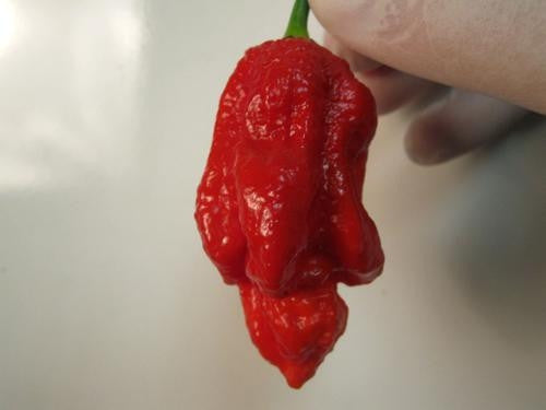 "Trinidad Scorpion 7 Pot ""Barrackpore"" Strain - Capsicum Chinense - Extreme Chilli Pepper - 5 Seeds"