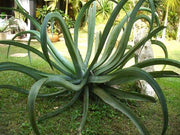 Octopus Century Plant - Agave Vilmoriniana - Exotic Succulent - 5 Seeds
