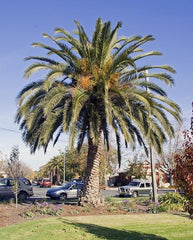 Canary Islands Date Palm - Phoenix Canariensis - Exotic Palm - 10 Seeds