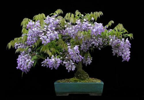 Chinese Blue Wisteria - Wisteria Sinensis - Exotic / Rare Bonsai Tree / Climbing Vine - 5 Seeds